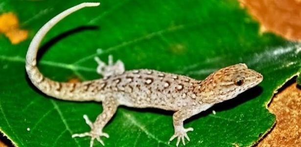 A cabeça e a boca dessa espécie de lagarto aumentaram em apenas 15 anos no Brasil