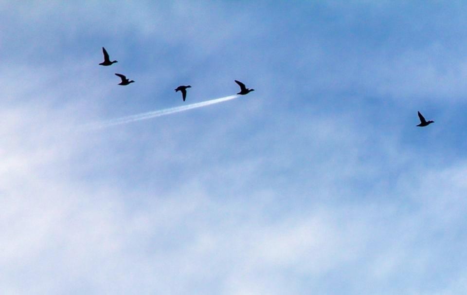 Pato ou foguete? - O rastro deixado por um avião fez parecer o pato dessa revoada um foguete. A foto foi escolhida na categoria especial
