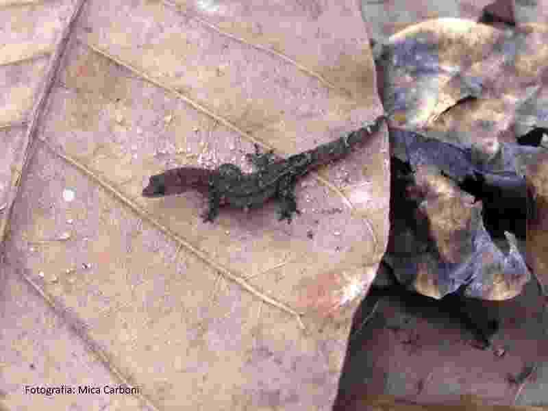 O lagarto-de-folhiço, que é endêmico da mata atlântica do Rio Grande do Norte - Mica Carboni / Idema