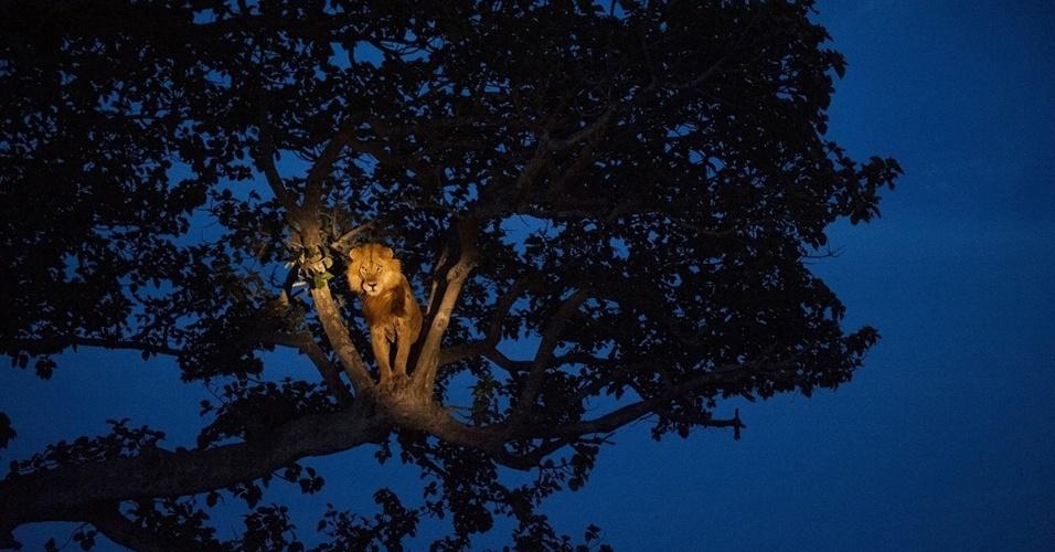 16.nov.2015 - Um leão africano sobe numa árvore no Parque Nacional Rainha Elizabeth, em Uganda, para dormir. Os leões são os únicos felinos que vivem em grupo, e nos quais o orgulho permite que dividam o resultado da caça. Entretanto, as outras atividades podem ser bem solitárias