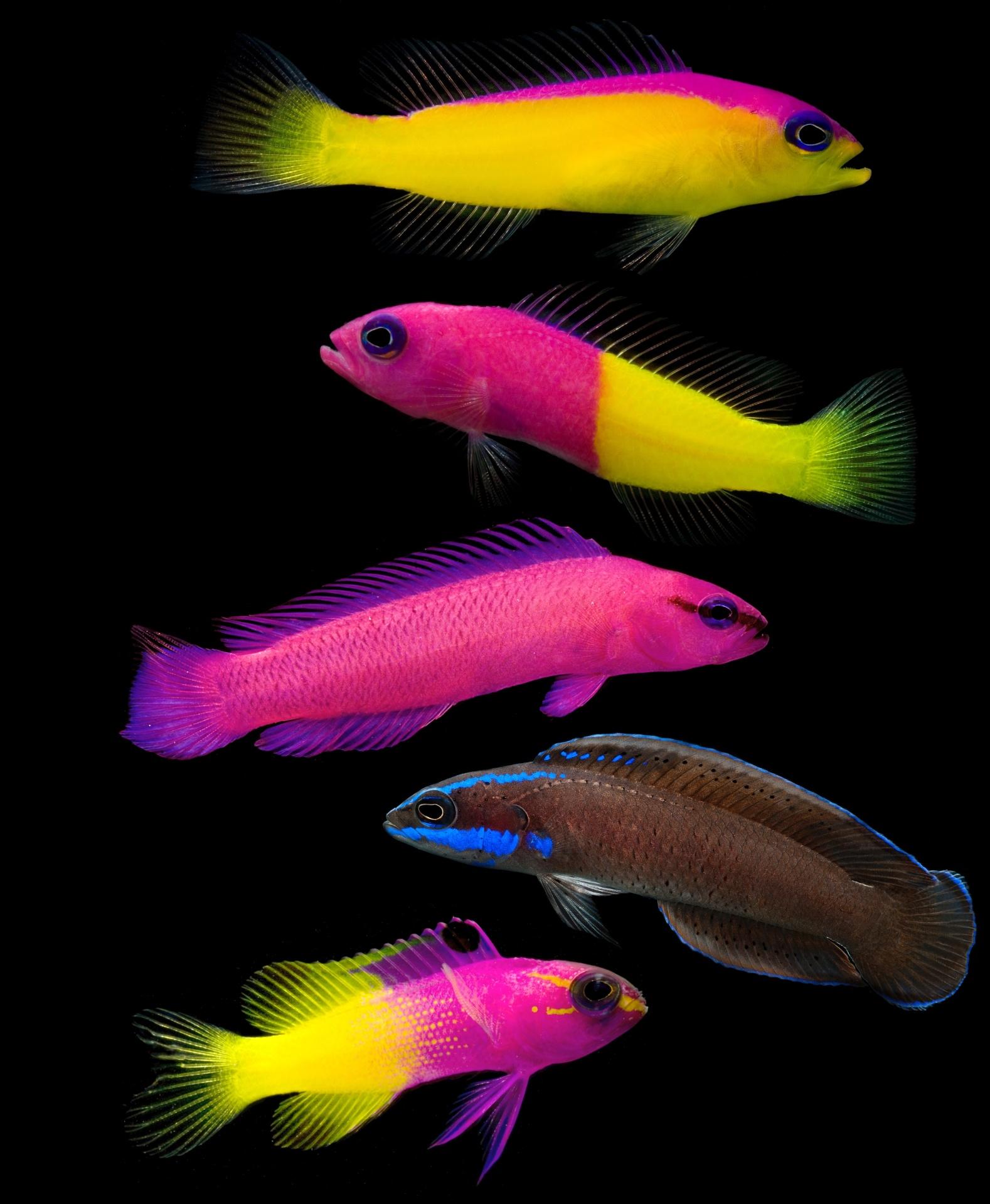 Estes peixes bicolores da espécie pseudochromidae são nativos de recifes tropicais entre o Oceano Índico e Pacífico. Eles também são chamados de dottyback e vivem em cerca de 30 metros de profundidade