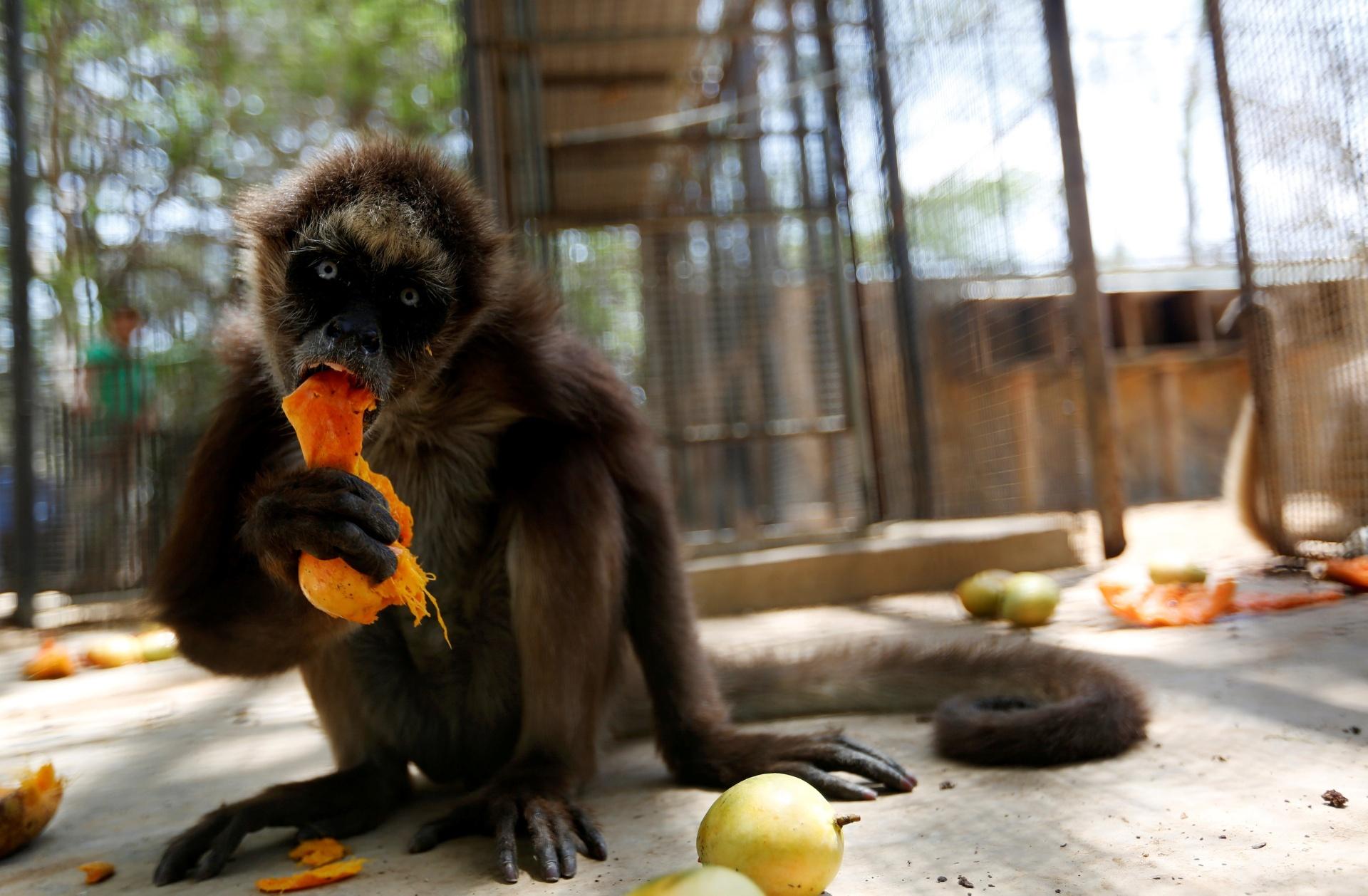 27.jul.2016 - Macaco olha para câmera enquanto come uma manga no zoológico de Paraguana, em Punto Fijo, na Venezuela