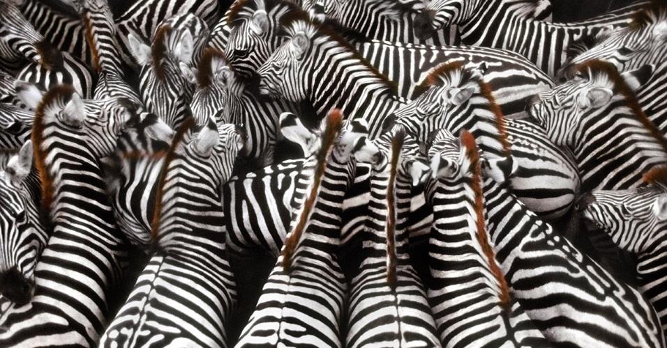 Zebras se reúnem no delta do rio Okavango, em Botsuana. As listras das zebras, que os cientistas acreditam que funcionem  como camuflagem, são como as nossas impressões digitais: cada animal tem um padrão