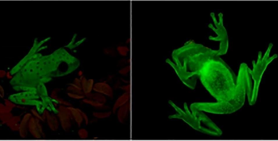 14.mar.2016 - Pesquisadores brasileiros e argentinos do Museu de Ciências Naturais Bernardino Rivadavia, em Buenos Aires, encontraram a primeira rã fluorescente do mundo. A fluorescência é a capacidade de absorver luz em comprimentos de onda curtos e reemiti-los em comprimentos de onda mais longos, comum no mar e incomum em criaturas terrestres. Essa característica nunca havia sido documentada em um anfíbio. A razão dessa capacidade animal não é clara, as explicações incluem comunicação, camuflagem e atração de parceiros. O animal que tem cerca 3 centímetros pode ser encontrado em árvores por toda a bacia amazônica