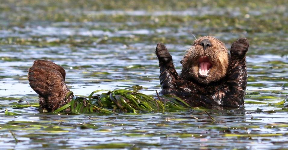 Because I'm happy - Ela é uma lontra feliz da Califórnia, nos EUA