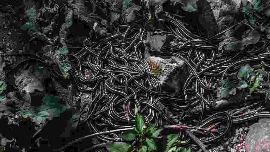 Dezenas de cobras nos Covis das Cobras de Narcisse, no Canadá - Aaron Vincent Elkaim/The New York Times