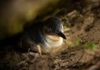 Homem mata 6 pinguins e pena leve causa indignação na Austrália (Foto: David Maurice Smith/The New York Times)