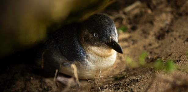 pinguim-azul, a menor espécie de pinguim - David Maurice Smith/The New York Times