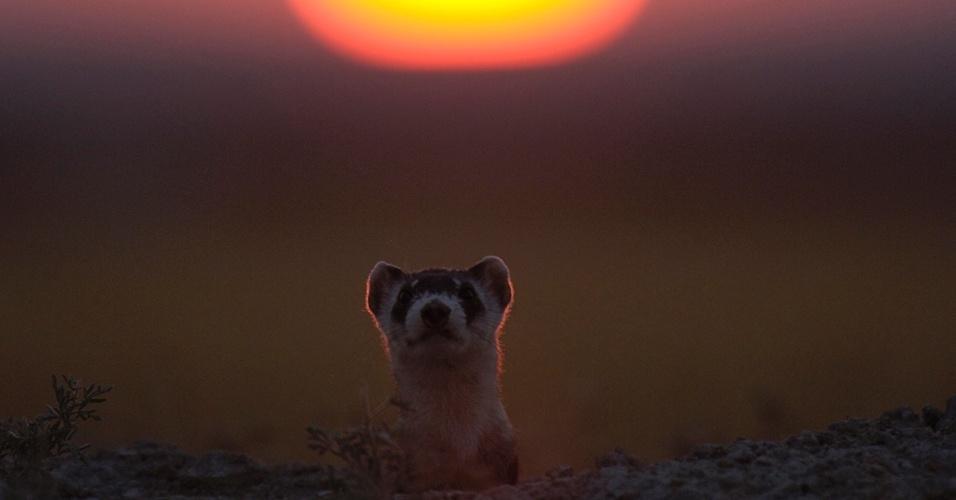 8.fev.2016 - Um furão espia fora de sua toca ao pôr do sol. A espécie fica a maior parte do tempo sob a terra, mas à noite sai para caçar