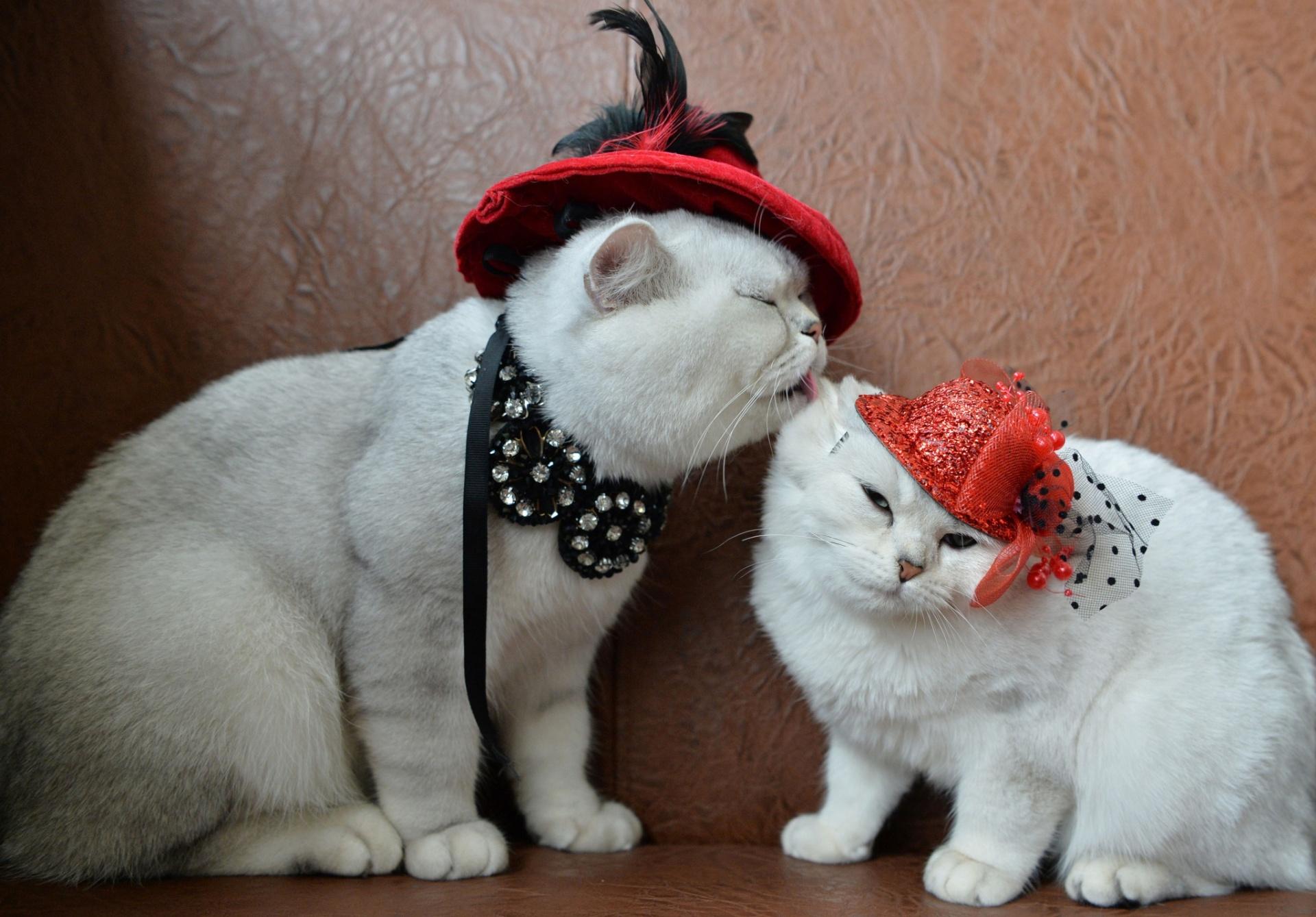 16.out.2016 - Dois gatos escoceses de pelo curto foram enfeitados com acessórios e chapéus para tiraram fotos do
