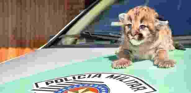 Filhote de onça-parda foi encontrada num canavial em Poloni, interior de SP - Polícia Ambiental de São José do Rio Preto/Divulgação