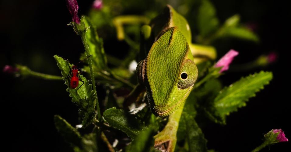 CAMALEÃO INDO DORMIR- Um camaleão (Chamaeleo dilepis) procura um abrigo entre insetos e plantas floridas para passar a noite. A foto foi feita no sul da Tanzânia