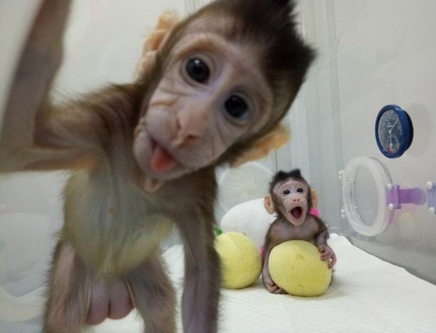 Os macacos clonados Zhong Zhon e Hua Hua, na China