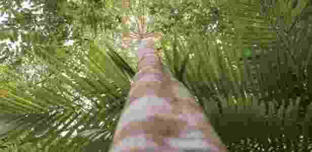 Ucuubeira, árvore amazônica, cujo fruto (ucuuba) é usado na produção de hidratantes da Natura - Divulgação/Natura - Divulgação/Natura