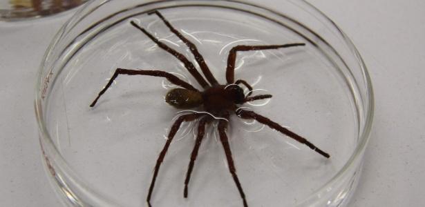 A aranha, encontrada no México e também na América do Sul, tem pernas de 10 centímetros