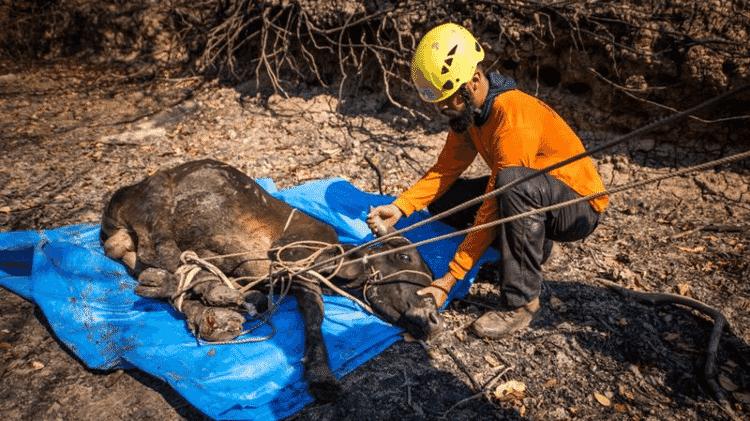 Voluntários do GRAD resgatam um bezerro com as quatro patas queimadas - FERNANDO FACIOLE/GRAD - FERNANDO FACIOLE/GRAD