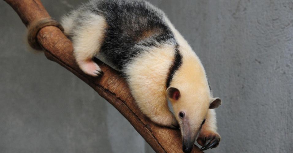2.jan.2016 - Com 93 cm e 2,4 kg, a tamanduá-mirim fêmea Babalu poderá ser vista pelos visitantes do Zoológico de Brasília na primeira quinzena de janeiro. Ela foi resgatada pelo Ibama pesando 1,8 kg e está passando por cuidados no zoológico desde novembro