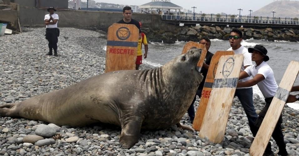 11.mar.2016 - Um elefante-marinho foi encontrado doente em uma praia no bairro de Miraflores, em Lima, Peru. Porém, ele se assustou com a chegada de policiais que o levariam até veterinários e tentou evitar o contato