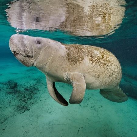 17.mai.2016 - Um peixe-boi vai à superfície para respirar. O mamífero marinho é um primo do elefante na água: grande e cinza, mas equipado com barbatanas e rabo achatado, ao invés de tromba e pernas fortes - Brian Skerry/National Geographic Creative