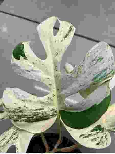 Rhaphidophora Tetrasperma - Reprodução/Trend Me - Reprodução/Trend Me