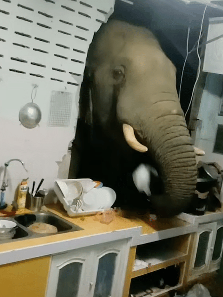 Elefante colocando o saco de arroz na boca, após bagunçar a despensa do casal - Reprodução/YouTube/Viral Press