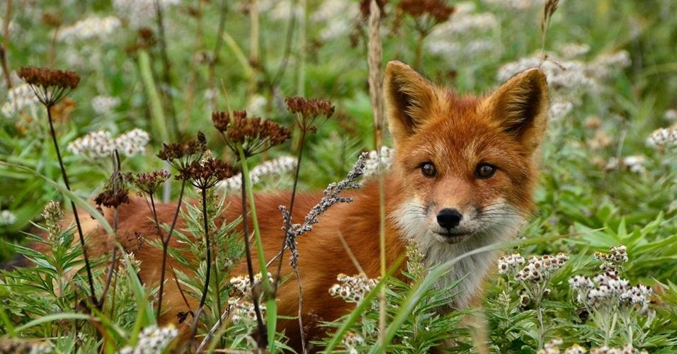 10.fev.2016 - Uma raposa-vermelha caminha na ilha russa Atlasov, no mar de Okhotsk. Raposas são altamente adaptáveis, sobrevivendo tanto em seu habitat como em ambientes com a interferência do homem