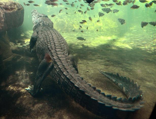 Foto de arquivo mostra crocodilo de 700 kg chamado Rex no zoológico de Sydney