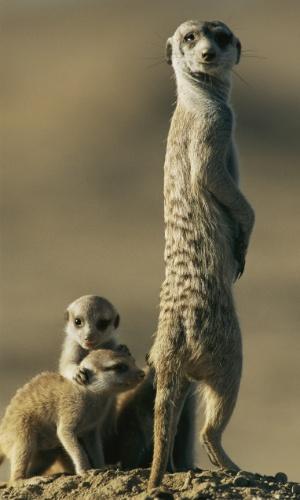 Um suricato anda aos lado dos filhotes em Botsuana. A espécie prova sua força em conjunto: caçam, acumulam feno para comida e constroem tocas complexas