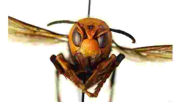 Entidade americana pediu que apicultores e moradores comuniquem imediatamente qualquer encontro com 'vespas assassinas' para evitar a propagação delas - Washington State Department of Agriculture - Washington State Department of Agriculture