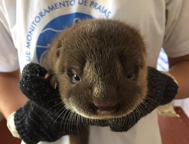 Filhote de lontra foi resgatado ferido, bastante debilitado e pesando cerca de 1 kg