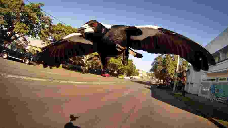 Pássaro atacou ciclista na Austrália  - Fairfax Media via Getty Images