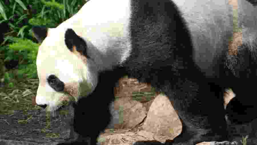 Dois pandas gigantes emprestados da China a um zoológico canadense estão enfrentando uma escassez de alimentos - Handout / The Calgary Zoo / AFP