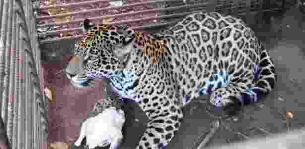 Onça pintada era animal de estimação em garimpo do Pará - Divulgação/ONG Associação Mata Ciliar - Divulgação/ONG Associação Mata Ciliar