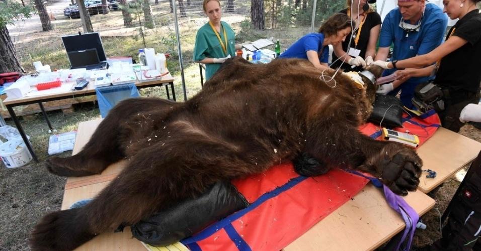 16.set.2016 - O urso marrom Igor passou por exames odontológicos, após ser anestesiado, no parque Johannismuehle, Alemanha. Médicos especializados em vida selvagem e dentistas fizeram um longo planejamento para realizar uma cirurgia no molar do animal de 250 kg