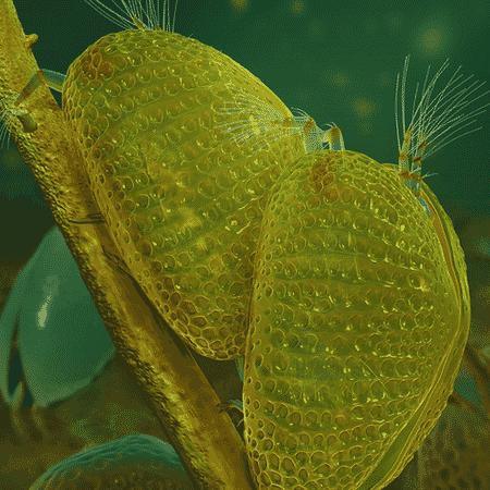 Ilustração da reprodução dos ostracodes; após acasalamento, fêmea ficou presa em gota de âmbar, guardando o espermatozoide que foi revelado cerca de 100 milhões de anos depois - Divulgação/Dinghua Yang