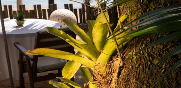 Plantas de folhas largas e cálice profundo, como as bromélias, podem acumular água nas suas reentrâncias, gerando um criadouro ideal