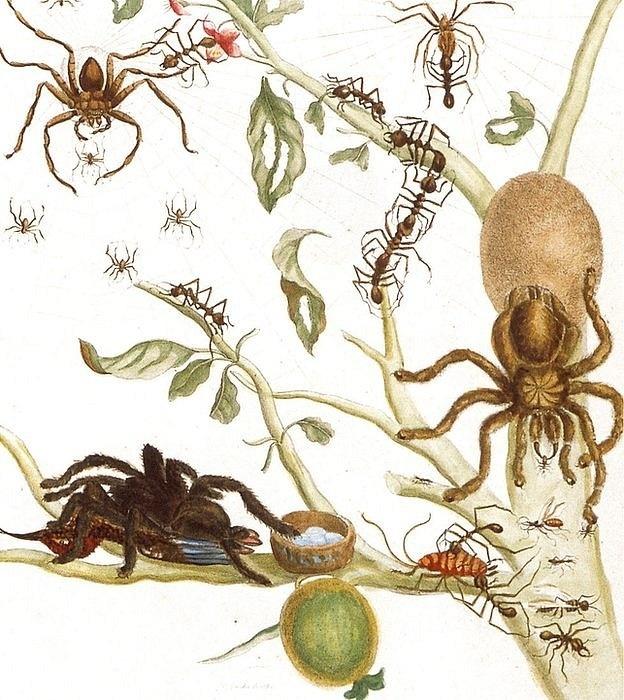 As ilustrações de Merian não se limitavam a lagartas e borboletas