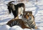 Dmitry Mezentsev/Primorye Safari-Park/AFP