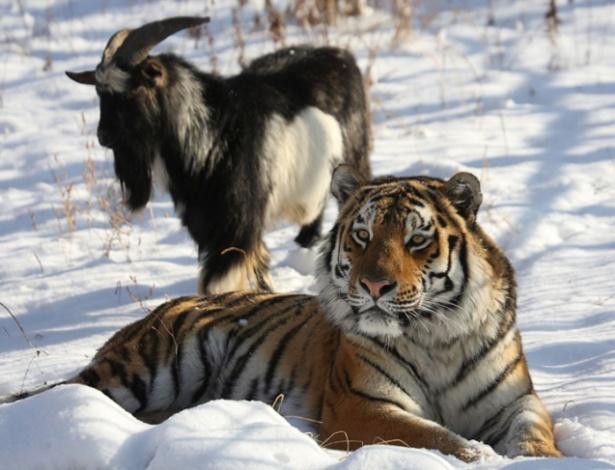 Era para Timur, o bode, ser o almoço de Amur, o tigre, mas eles acabaram virando amigos, só que o encantamento pode ter chegado ao fim... eles se estranharam!
