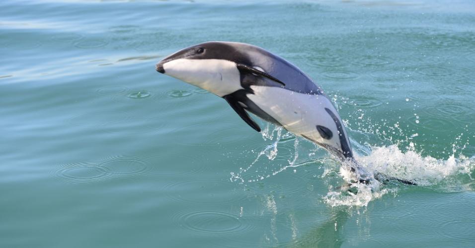 11.jul.2016 - O golfinho de Maui, espécie seriamente ameaçada de extinção, nada na costa oeste da Ilha Norte da Nova Zelândia. A Comissão Baleeira Internacional exortou o país a tomar ações urgentes para salvar o golfinho mais raro do mundo da extinção. Estima-se que haja menos de 50 exemplares do golfinho no mundo
