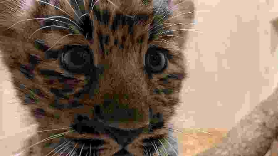 Filhote de leopardo Amur, subespécie rara, é exibido em zoológico nos EUA - divulgação/Rosamond Gifford Zoo