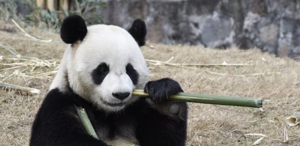 Panda gigante Yuan Xin come bambu em centro de conservação na China