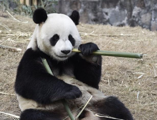 2.mar.2016 - Panda gigante Yuan Xin come bambu em centro de conservação na China. Os pandas gigantes Yuan Xin e Ni Hua vão morar na Coreia do Sul por 15 anos