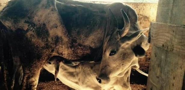 Bois, vacas e bezerros maltratados foram resgatados por um grupo de voluntários em São José (SC)