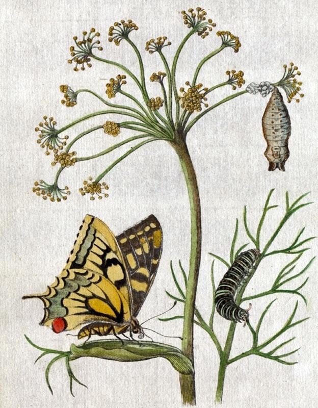 Três etapas da metamorfose, na ilustração de Maria Merian