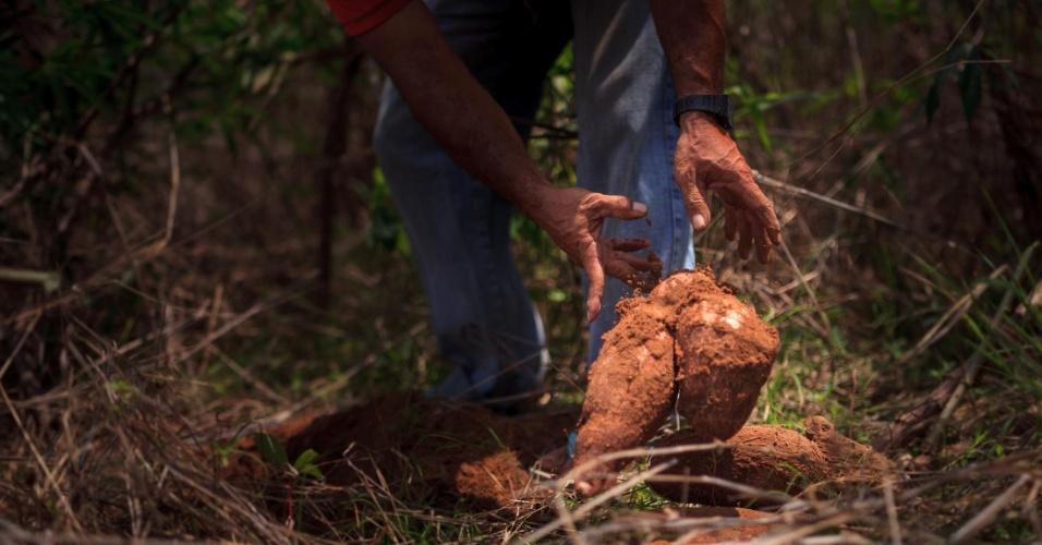 José Itamar Marcelo dos Reis, 52, na colheita da mandioca
