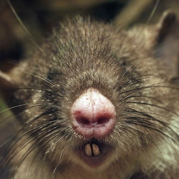 6.out.2015 - Rato com nariz de porco foi descoberto em ilha na Indonésia