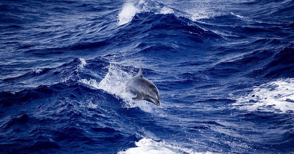 4.mai.2016 - Um golfinho-roaz, o mais conhecido de sua família, fotografado mergulhando na costa da polinésia Francesa.