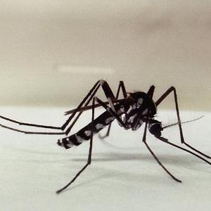 Mosquitos do gênero Haemagogus são transmissores da versão silvestre da febre amarela