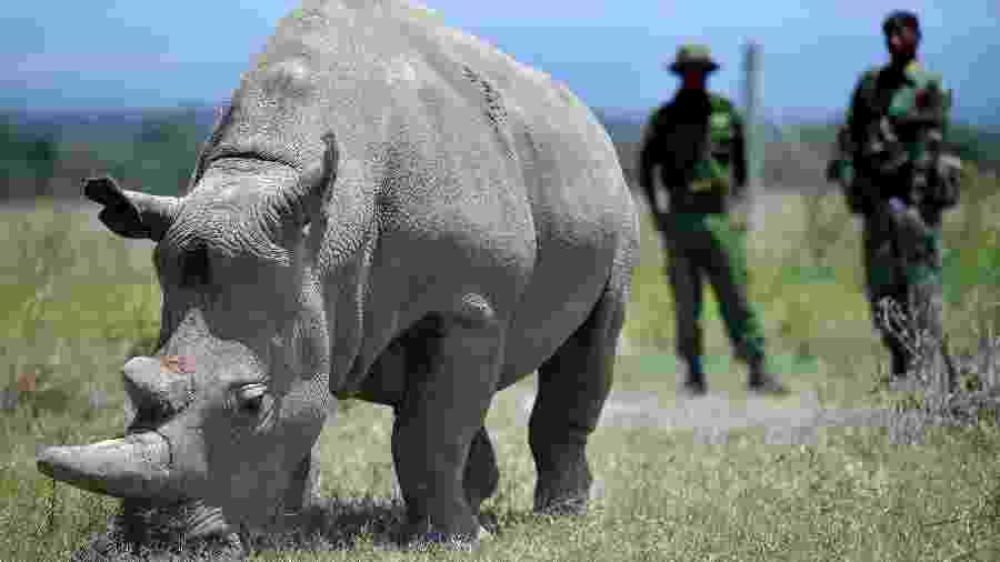 23.ago.2019 - Uma das duas últimas fêmeas de rinoceronte-branco do norte, na reserva queniana de Ol Pejeta - Tony Karumba/AFP